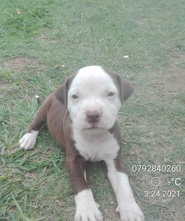 Pitbull Puppies in Kwazulu Natal (30/03/2021)