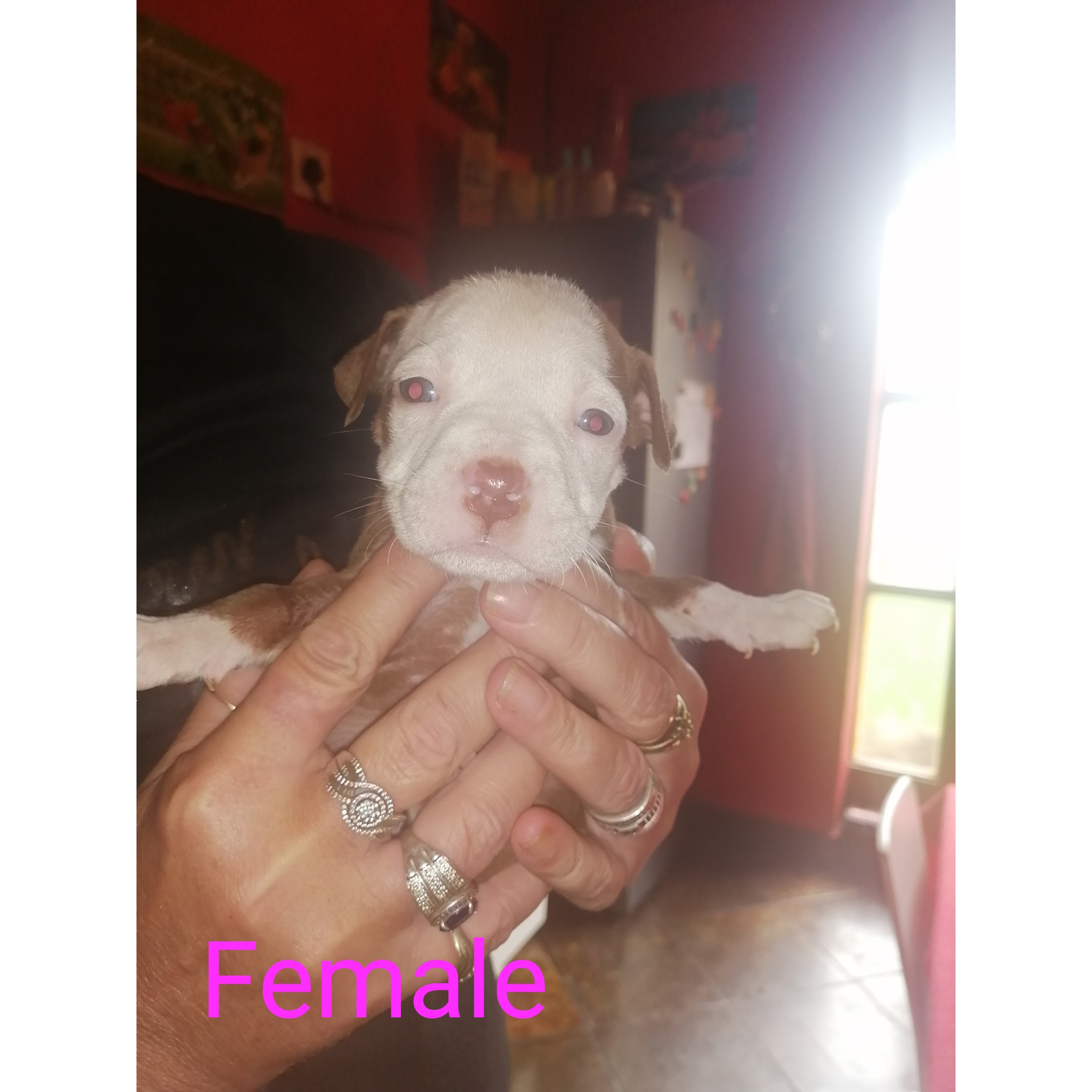Pitbull Puppies in East Rand (07/04/2021)