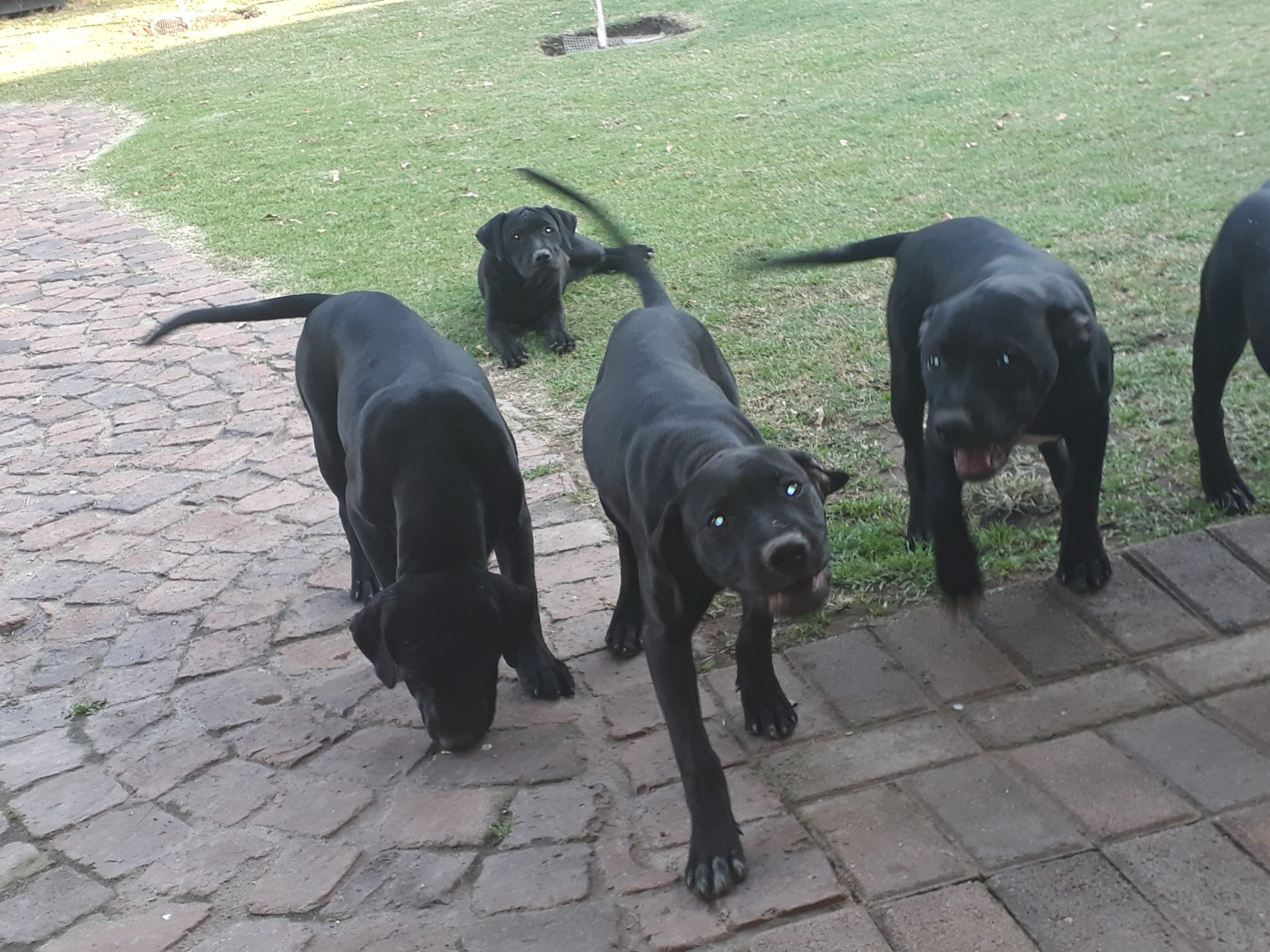 Pitbull Puppies in East Rand (11/04/2021)