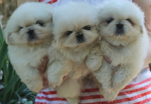 Pekingese Puppies in Brits (05/04/2021)