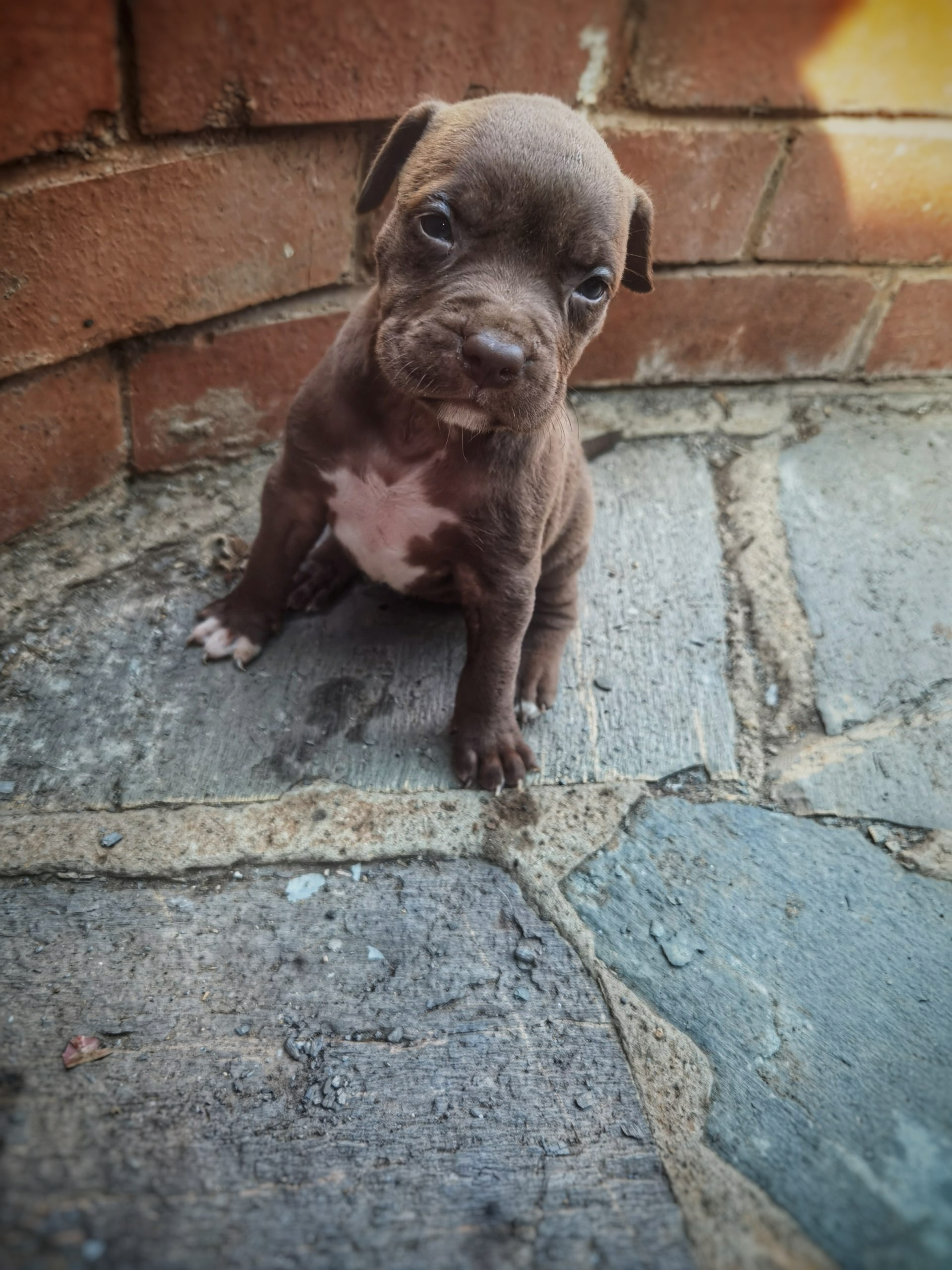 Pitbull Puppies in Johannesburg (25/04/2021)