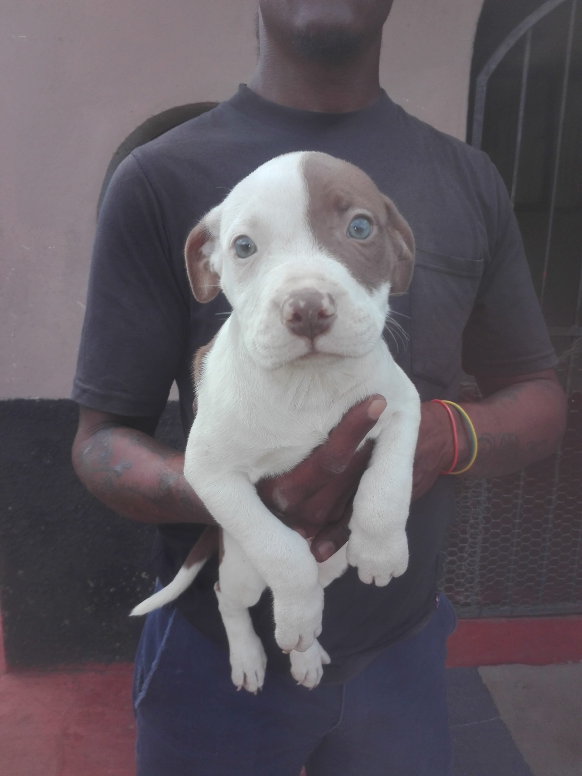 Pitbull Puppies in Kwazulu Natal (27/04/2021)