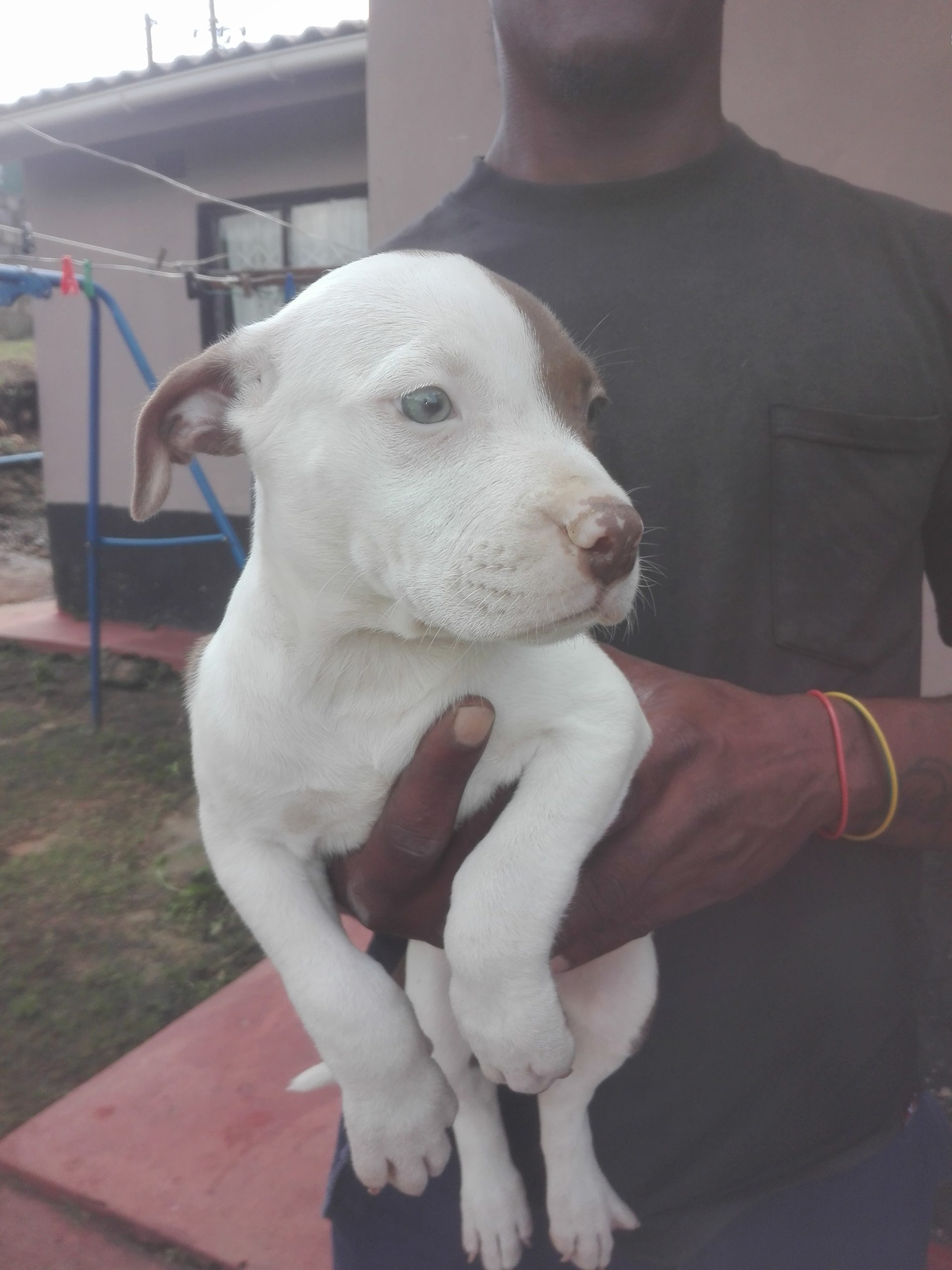 Pitbull Puppies in Kwazulu Natal (12/04/2021)