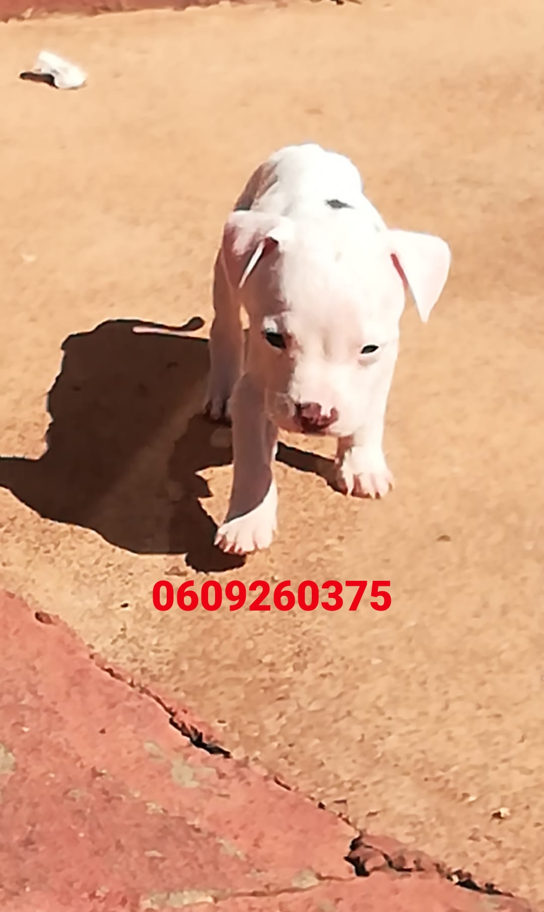 Pitbull Puppies in Pretoria (18/04/2021)