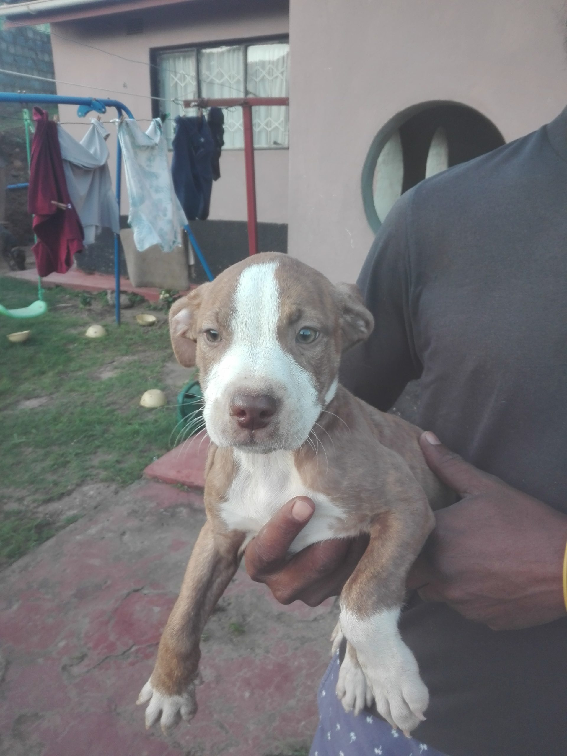 Pitbull Puppies in Kwazulu Natal (21/04/2021)