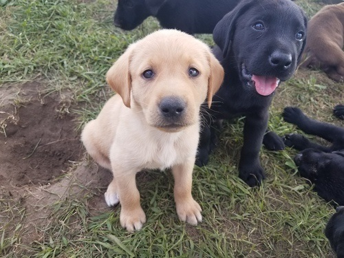 Labrador Puppies in Cape Town (05/04/2021)