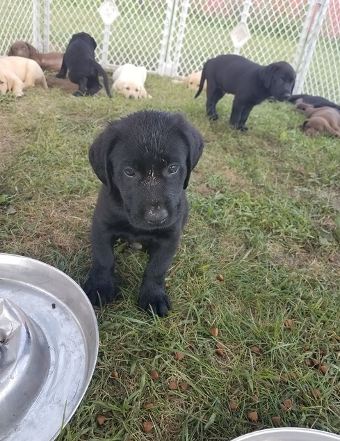 Labrador Puppies in East Rand (05/04/2021)