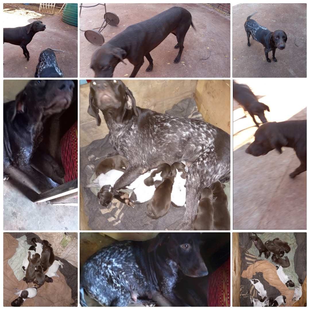 German Pointer Puppies in Other (13/04/2021)