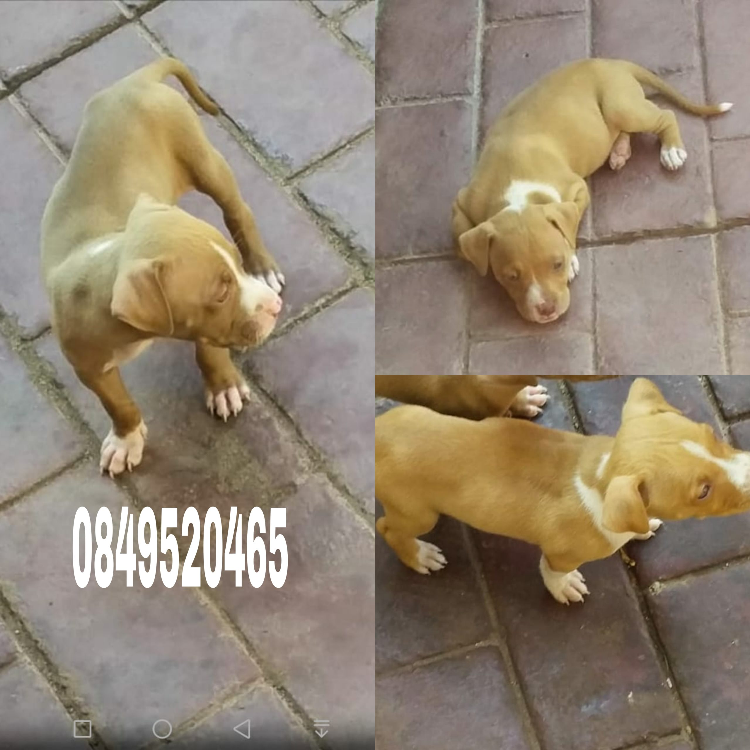 Pitbull Puppies in East Rand (22/04/2021)
