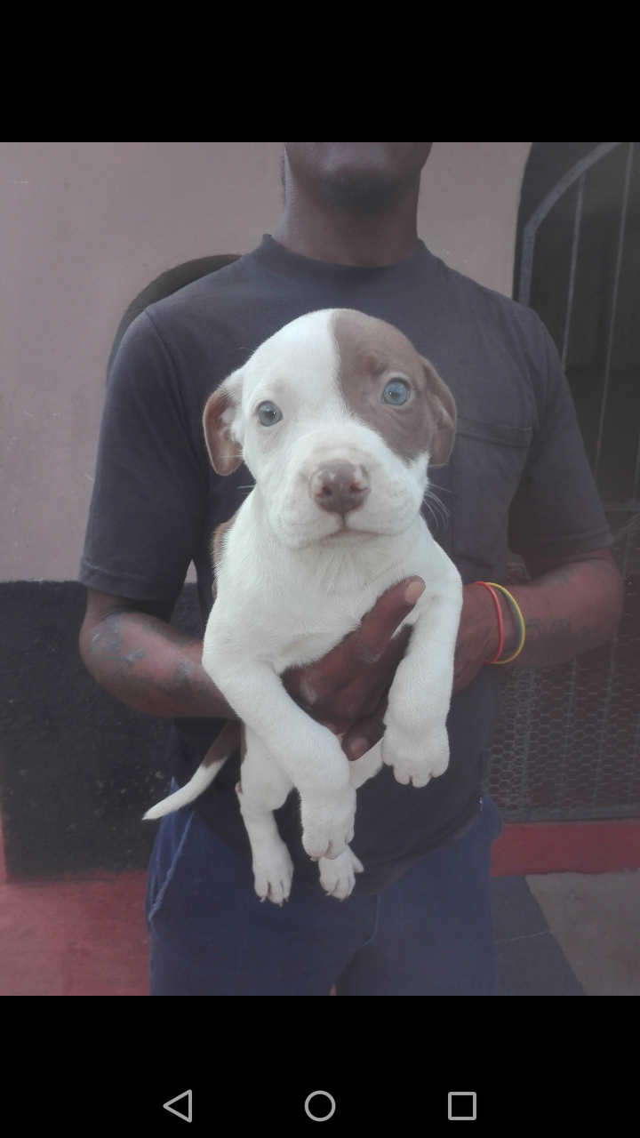 Pitbull Puppies in Kwazulu Natal (19/04/2021)