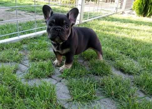 French Bulldog Puppies in Cape Town (05/04/2021)