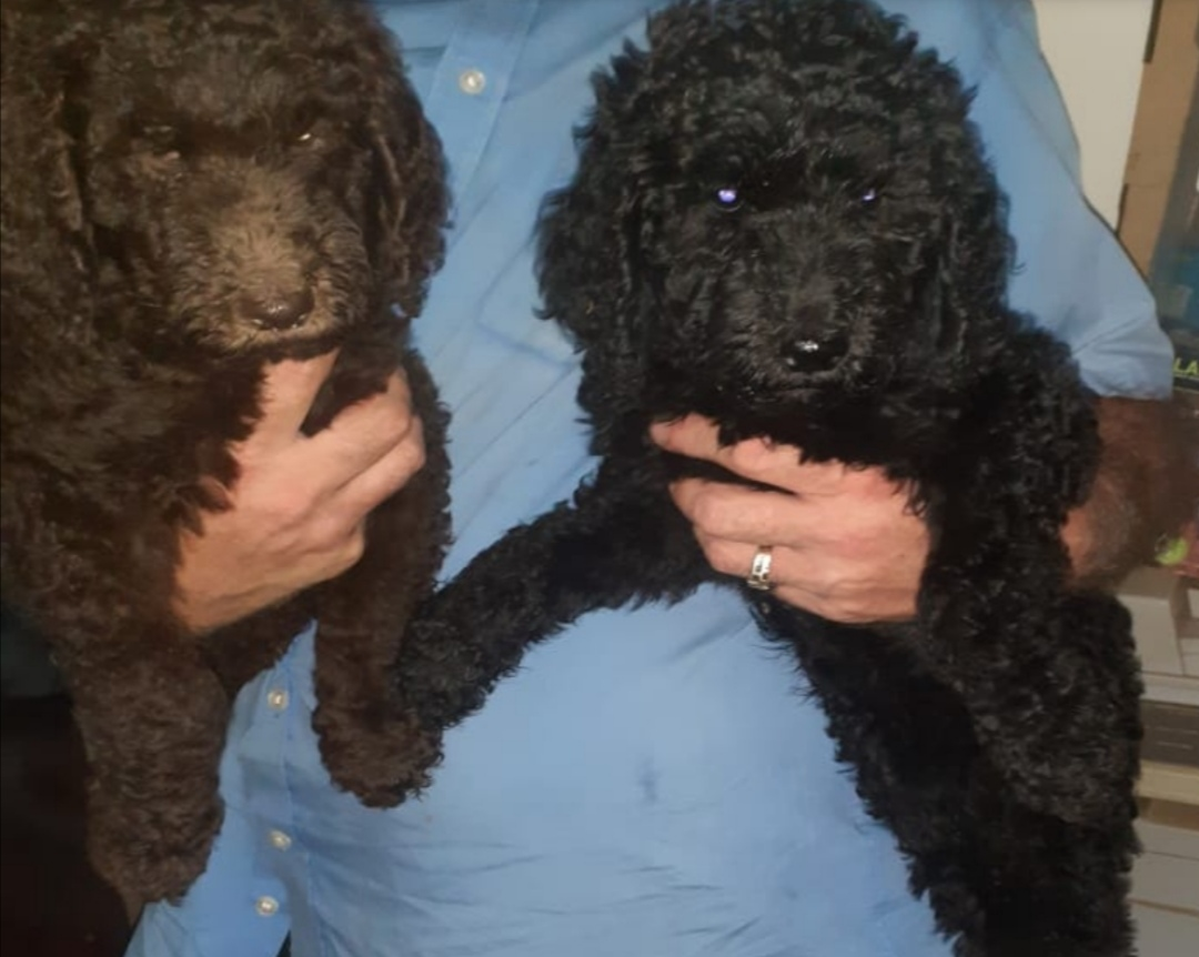 Poodle Puppies in Johannesburg (08/04/2021)