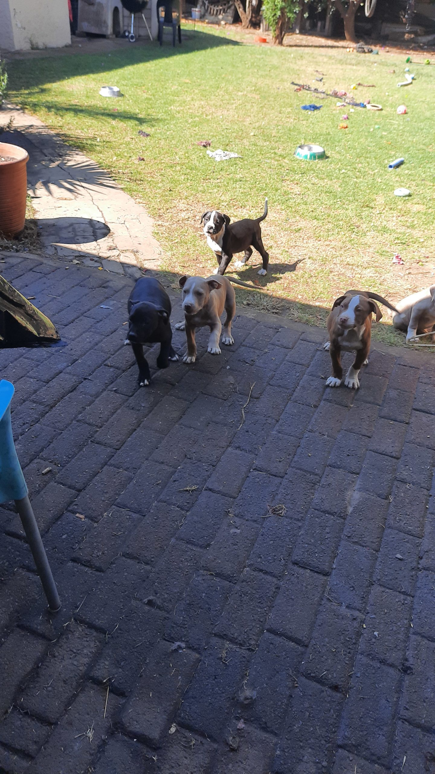 Pitbull Puppies in East Rand (29/05/2021)