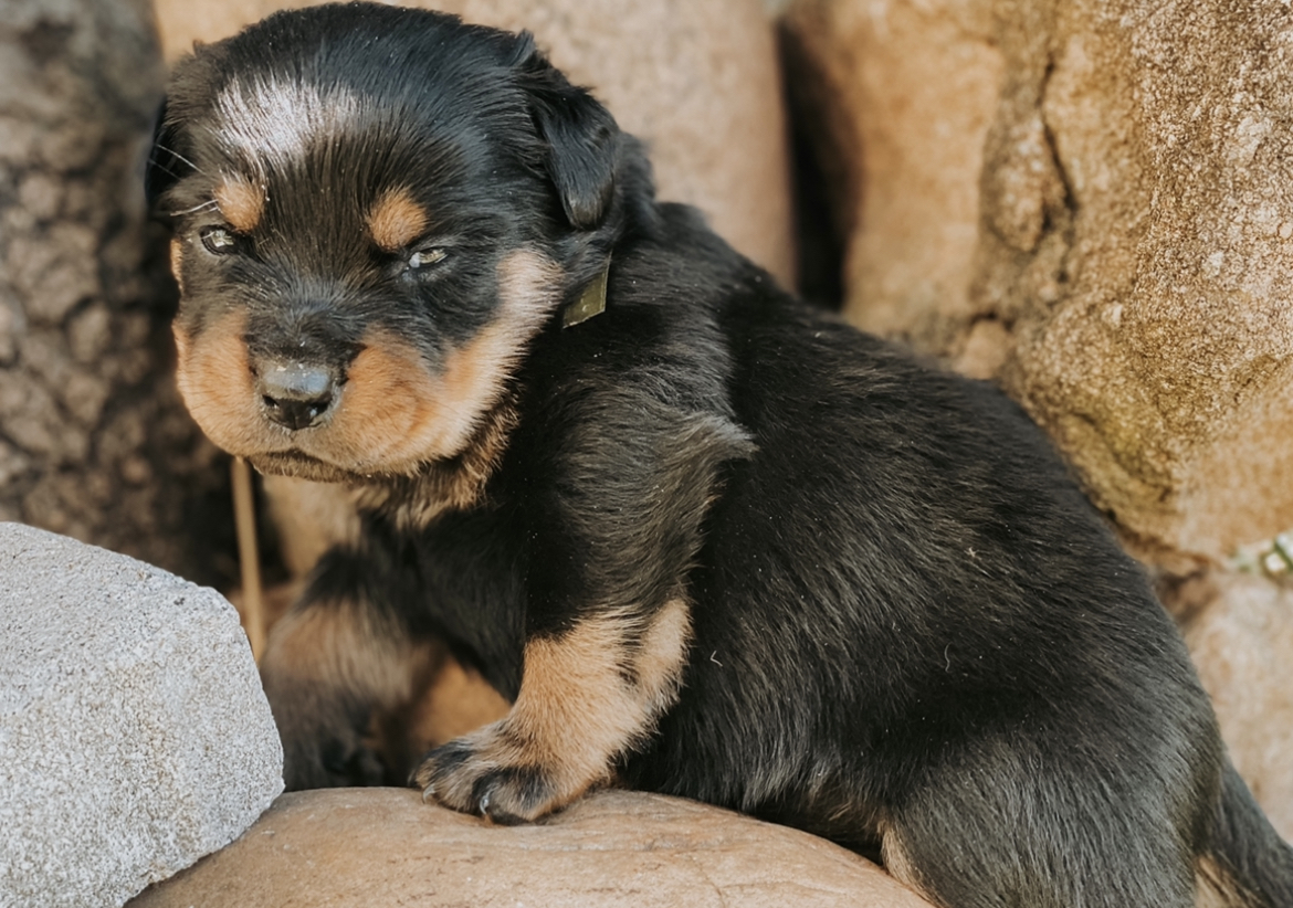 Rottweiler Puppies in Mpumalanga (11/05/2021)