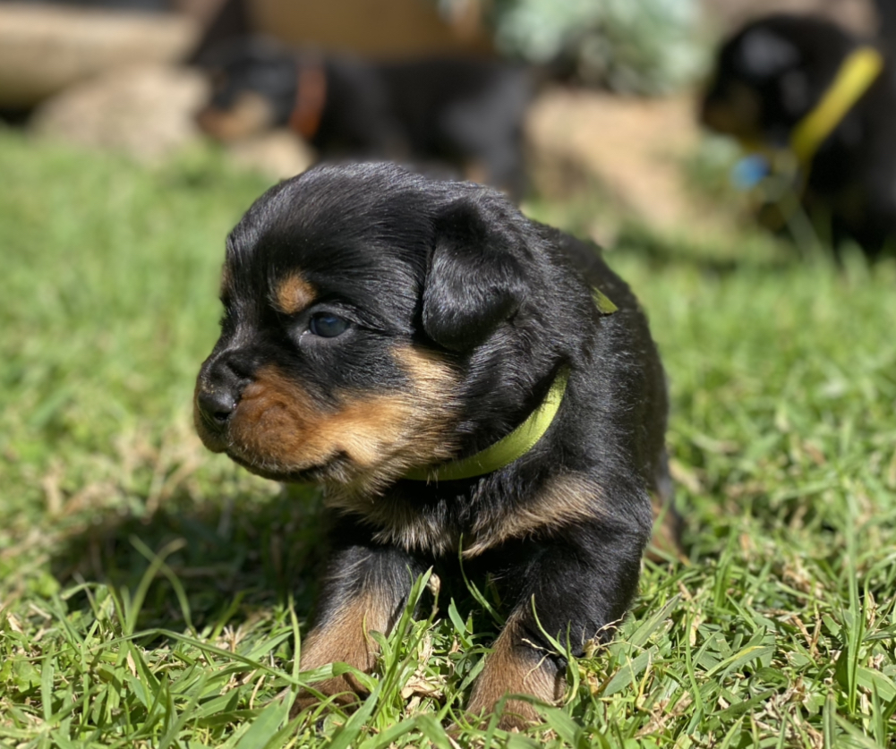 Rottweiler Puppies in Cape Town (04/05/2021)