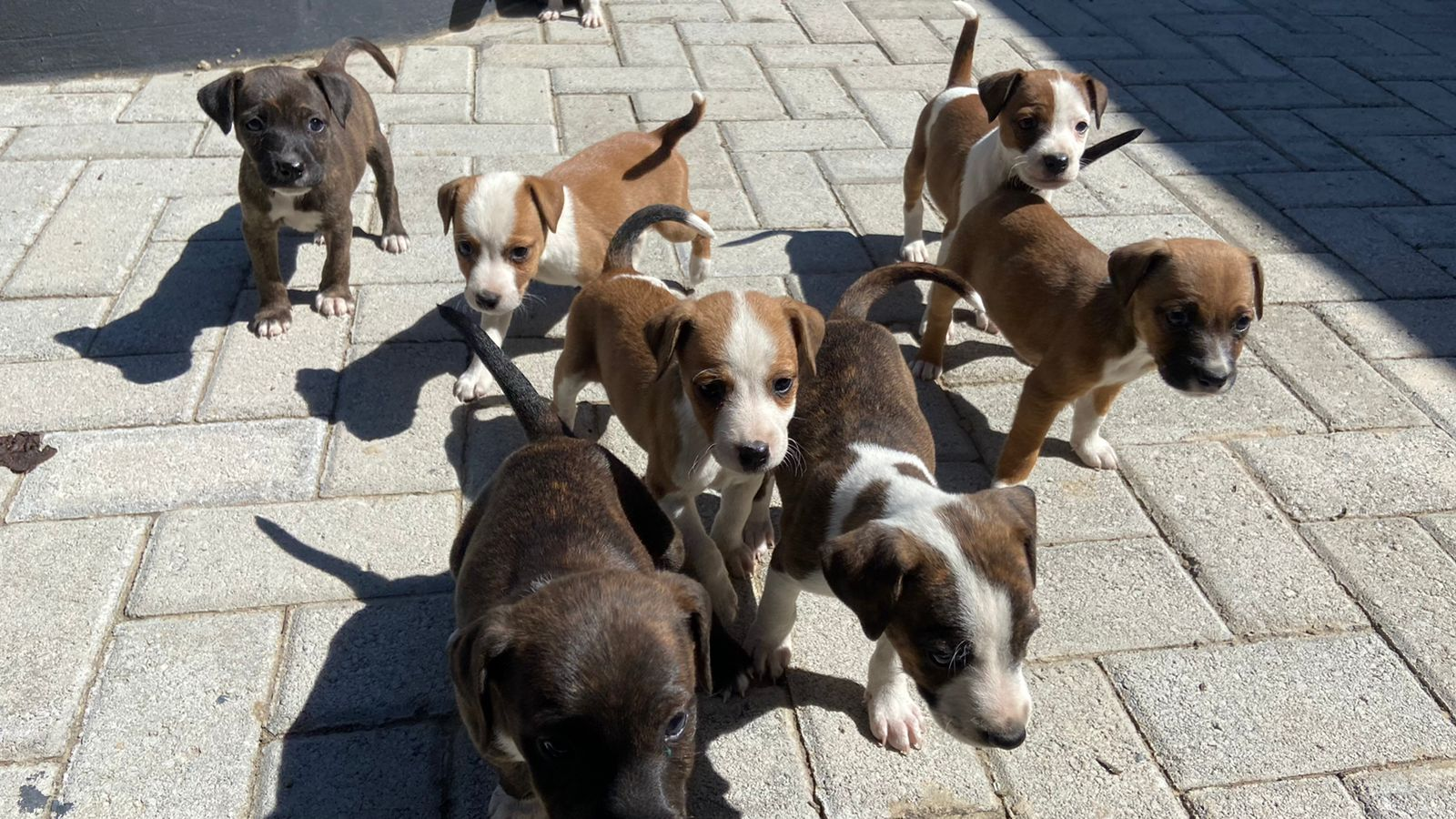 Staffie Puppies in East Rand (07/05/2021)