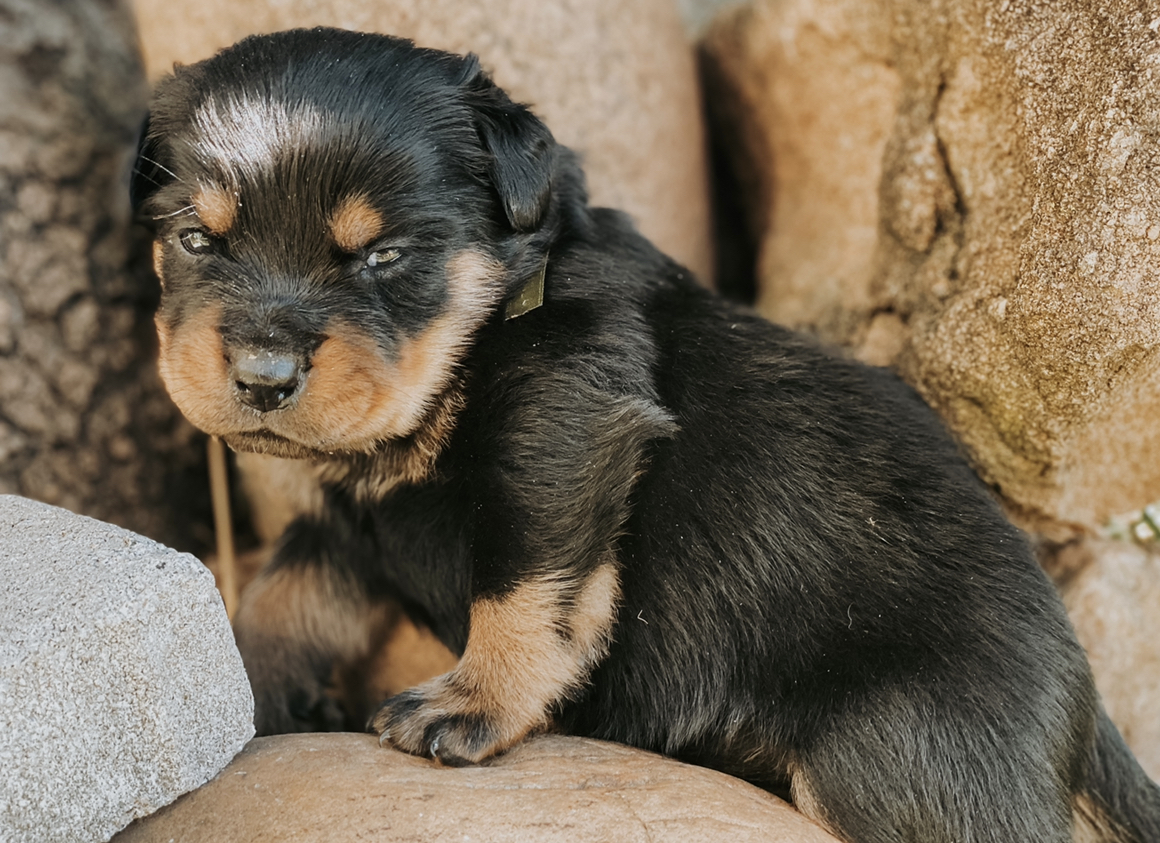Rottweiler Puppies in Mpumalanga (04/05/2021)