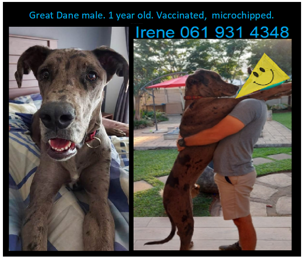 Great Dane Puppies in East Rand (12/05/2021)