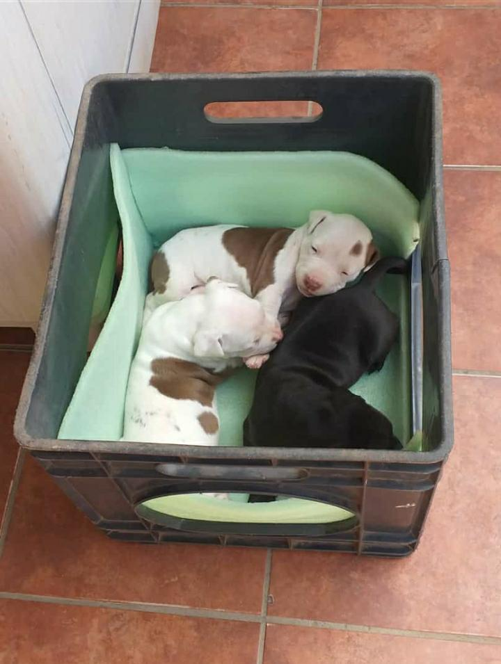 Pitbull Puppies in Pretoria (11/05/2021)