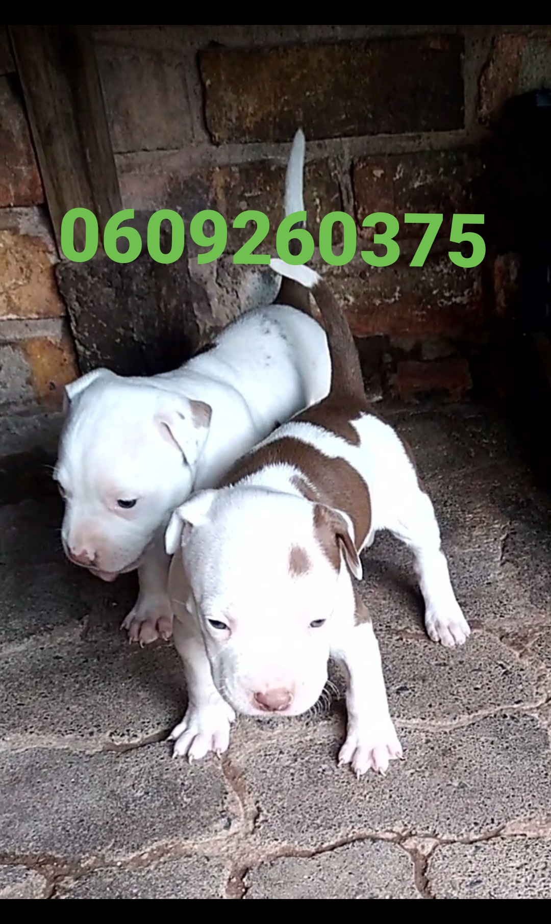 Pitbull Puppies in Pretoria (08/05/2021)