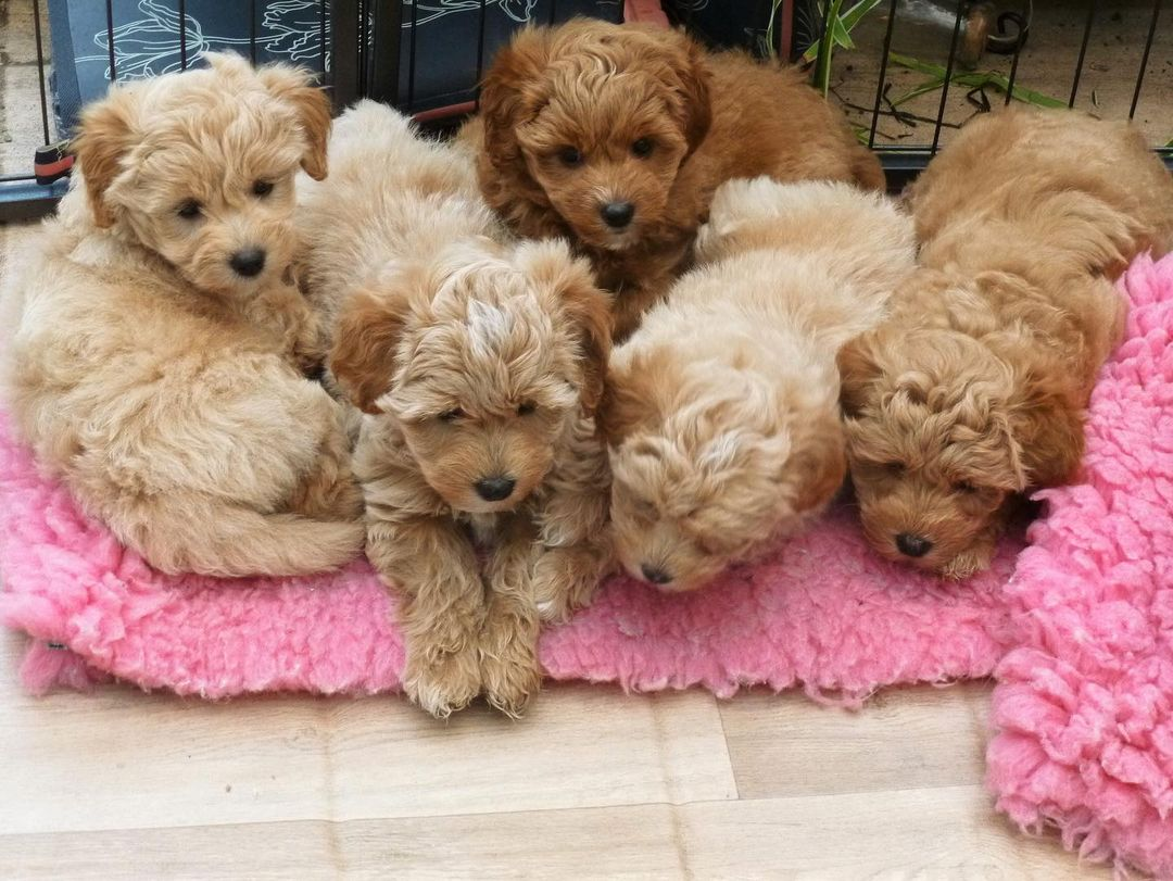 Poodle Puppies in Cape Town (06/05/2021)
