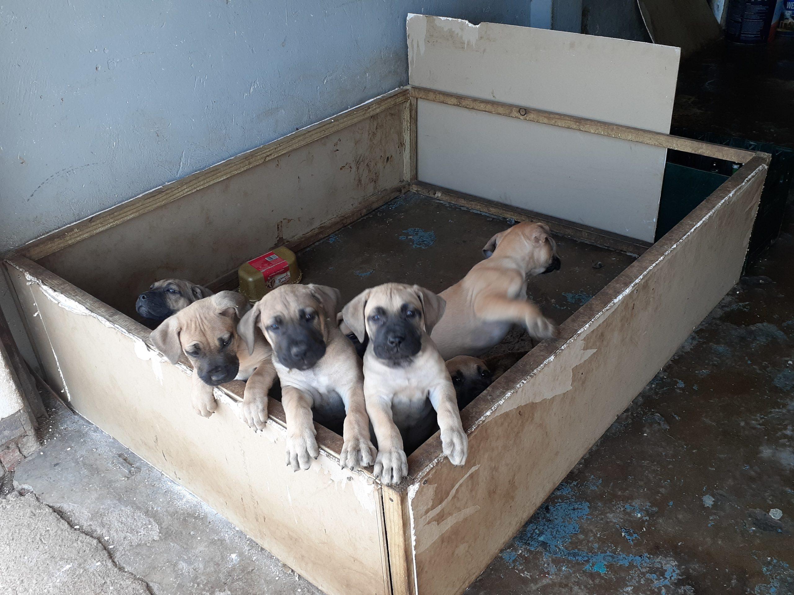 Boerboel Puppies in Kwazulu Natal (18/06/2021)