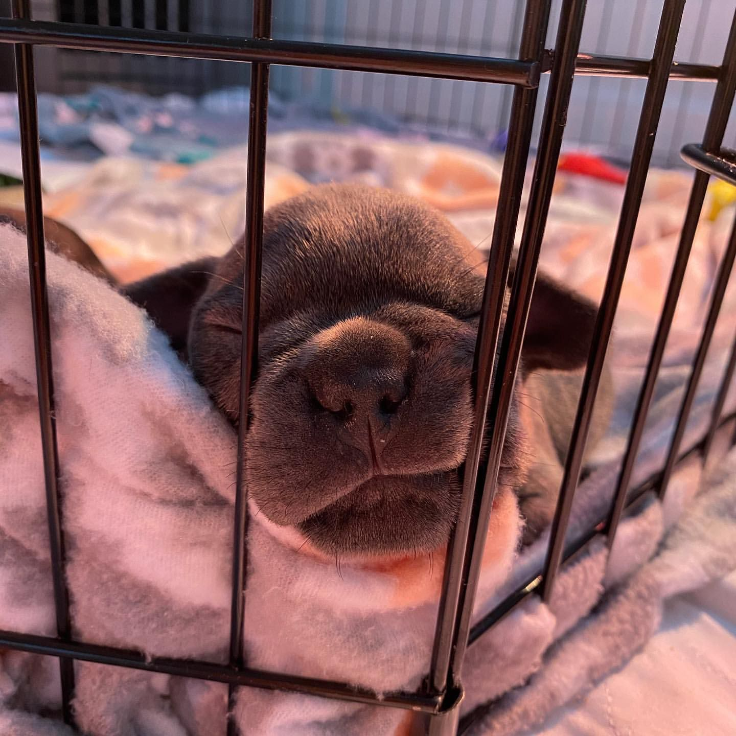 French Bulldog Puppies in George (15/06/2021)