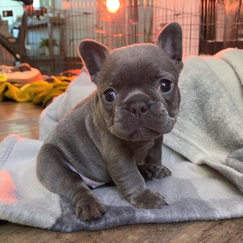 French Bulldog Puppies in Hartbeespoort (15/06/2021)