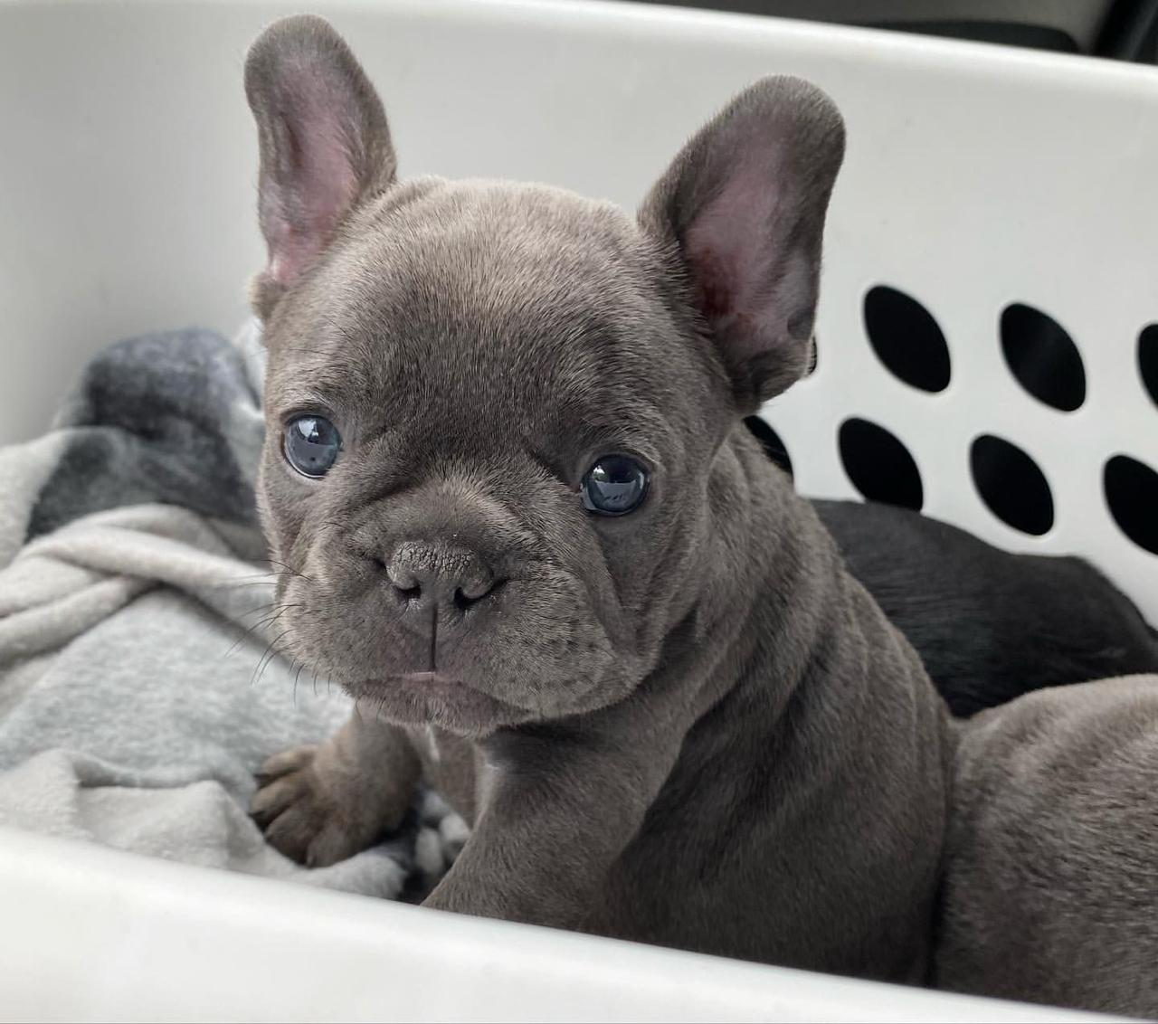 French Bulldog Puppies in Cape Town (15/06/2021)
