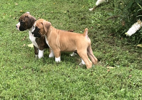 Boxer Puppies in Cape Town (15/06/2021)
