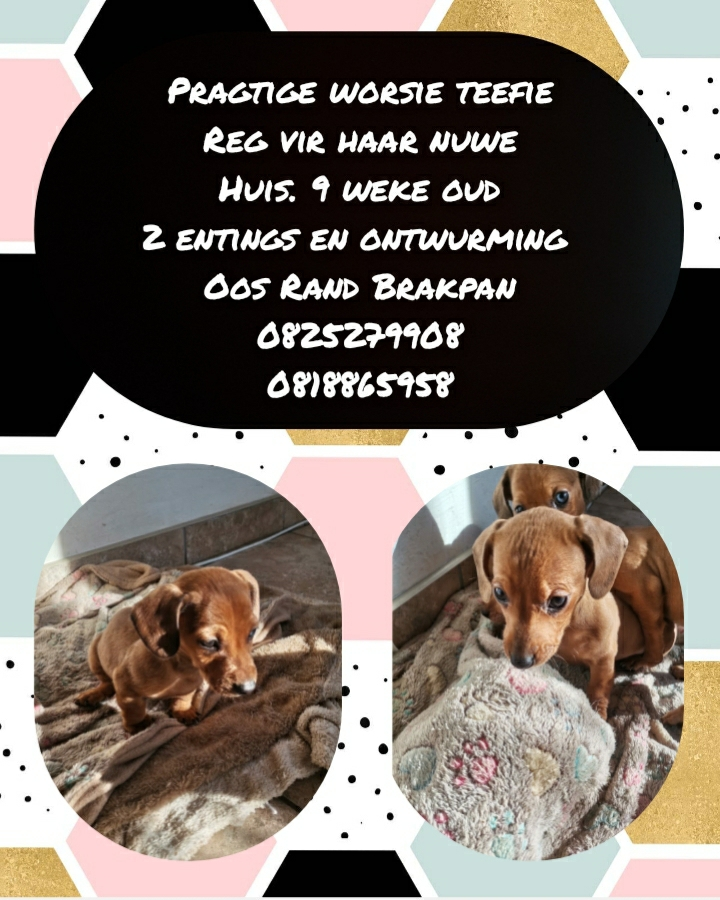 Dachshund Puppies in East Rand (22/06/2021)