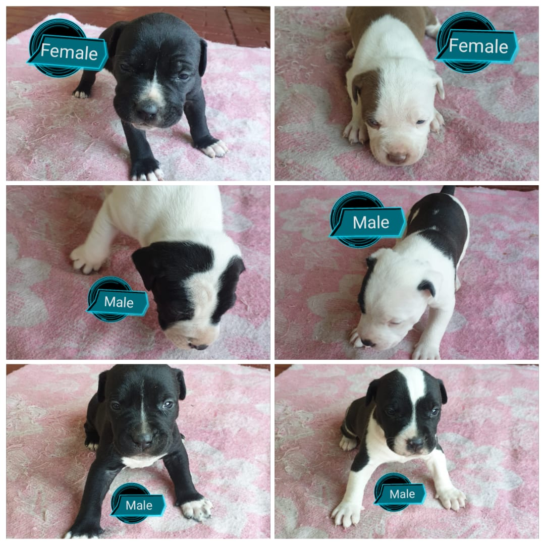 Pitbull Puppies in East Rand (14/06/2021)