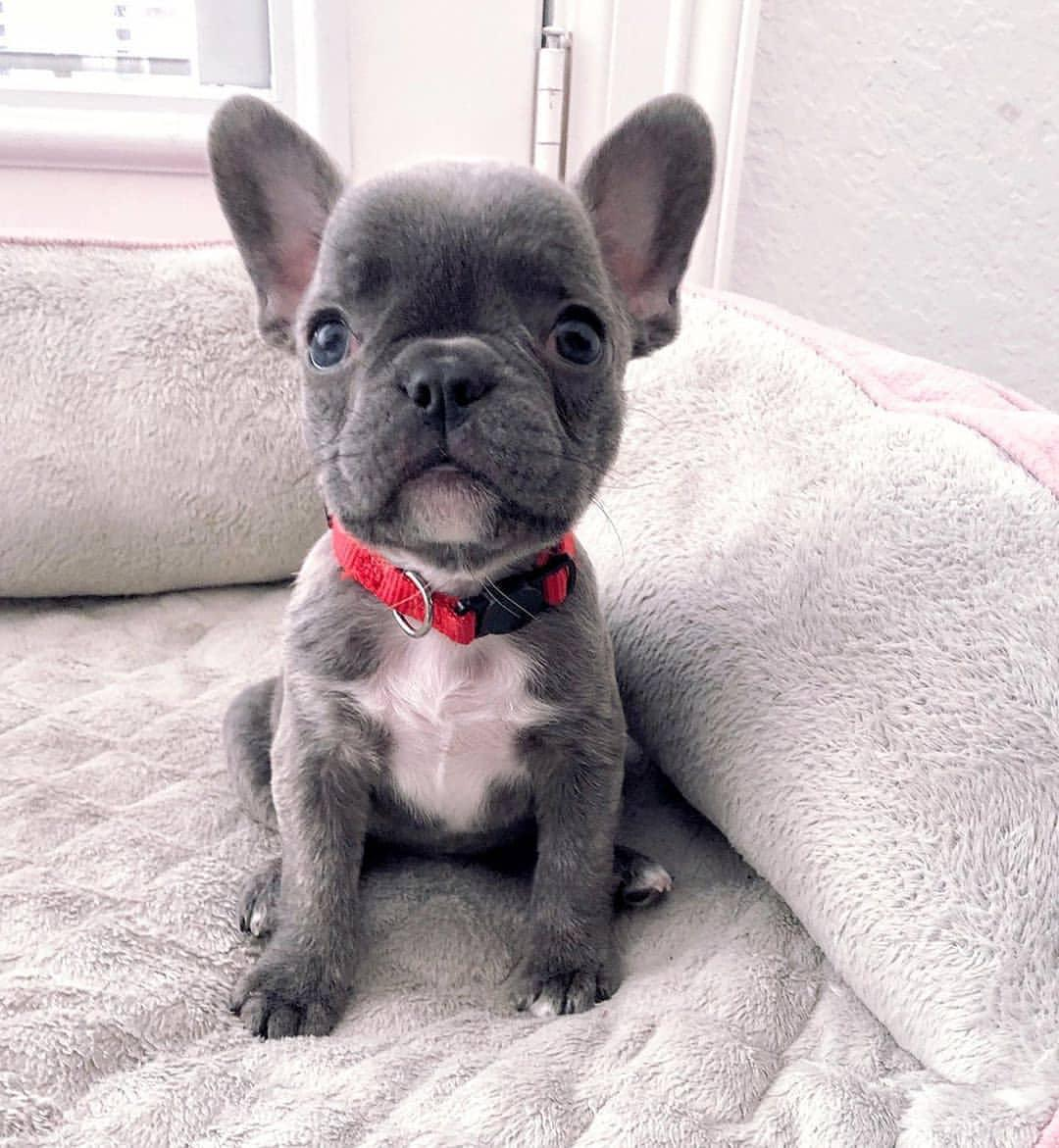 French Bulldog Puppies in Other (15/06/2021)