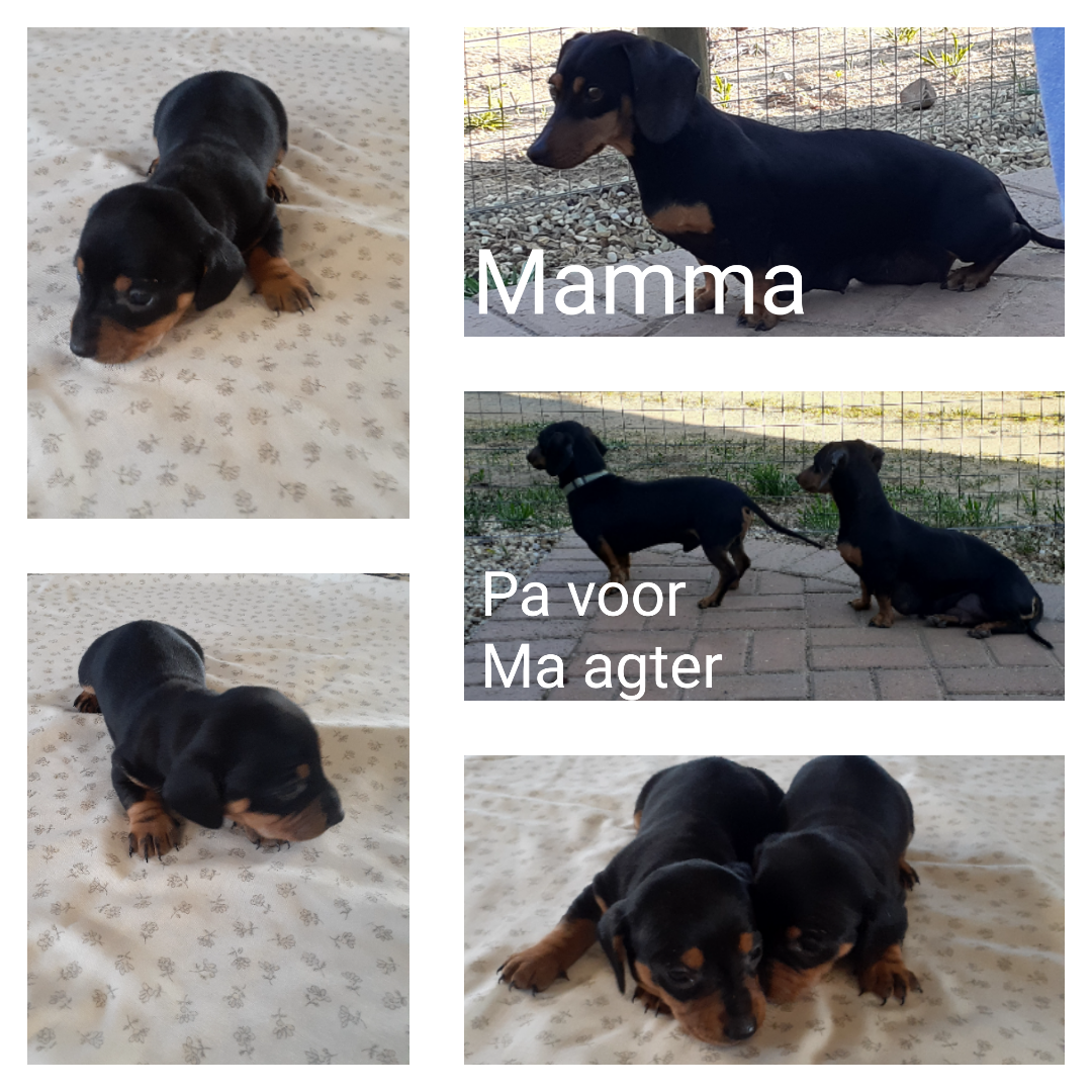Dachshund Puppies in Other (17/06/2021)