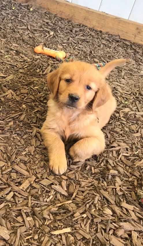 Retriever Puppies in East Rand (20/07/2021)