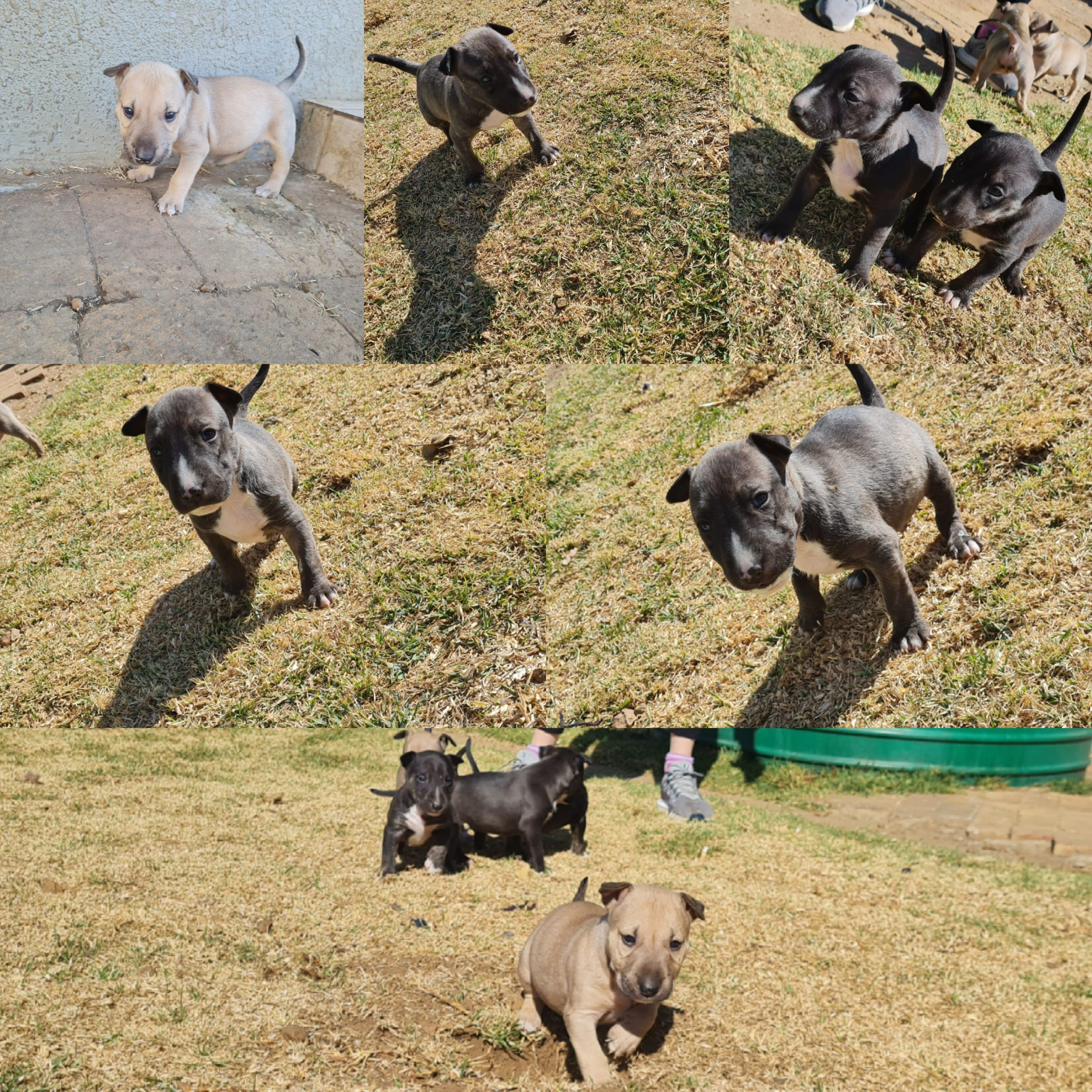 Bull Terrier Puppies in East Rand (09/08/2021)