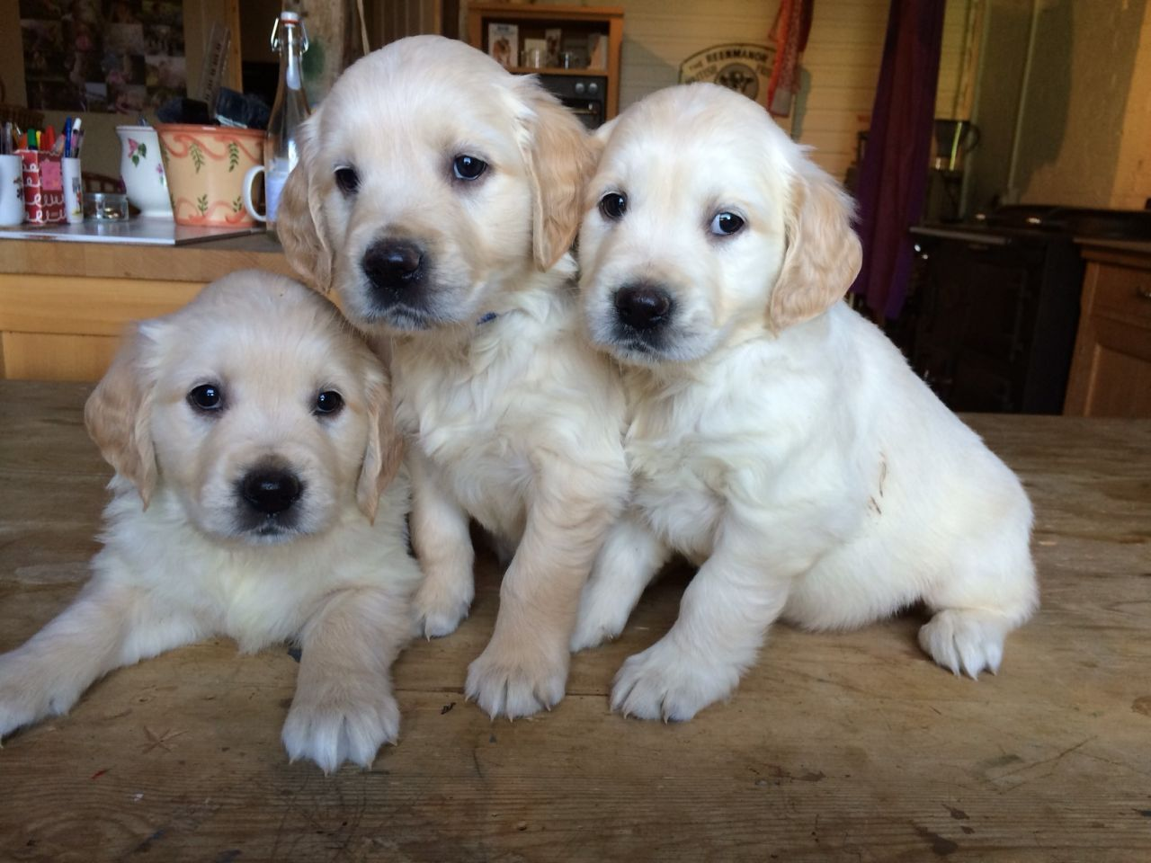 Retriever Puppies in East Rand (22/08/2021)