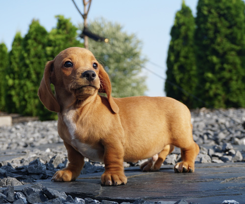 Dachshund Puppies in Cape Town (17/08/2021)