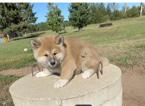 Other Puppies in Kimberley (17/08/2021)