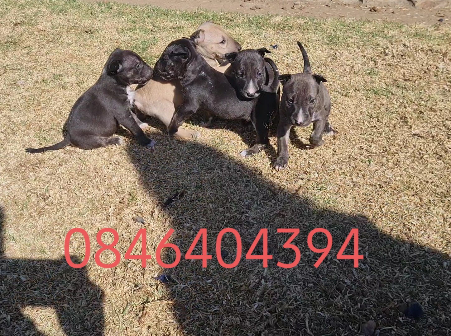 Bull Terrier Puppies in East Rand (11/08/2021)