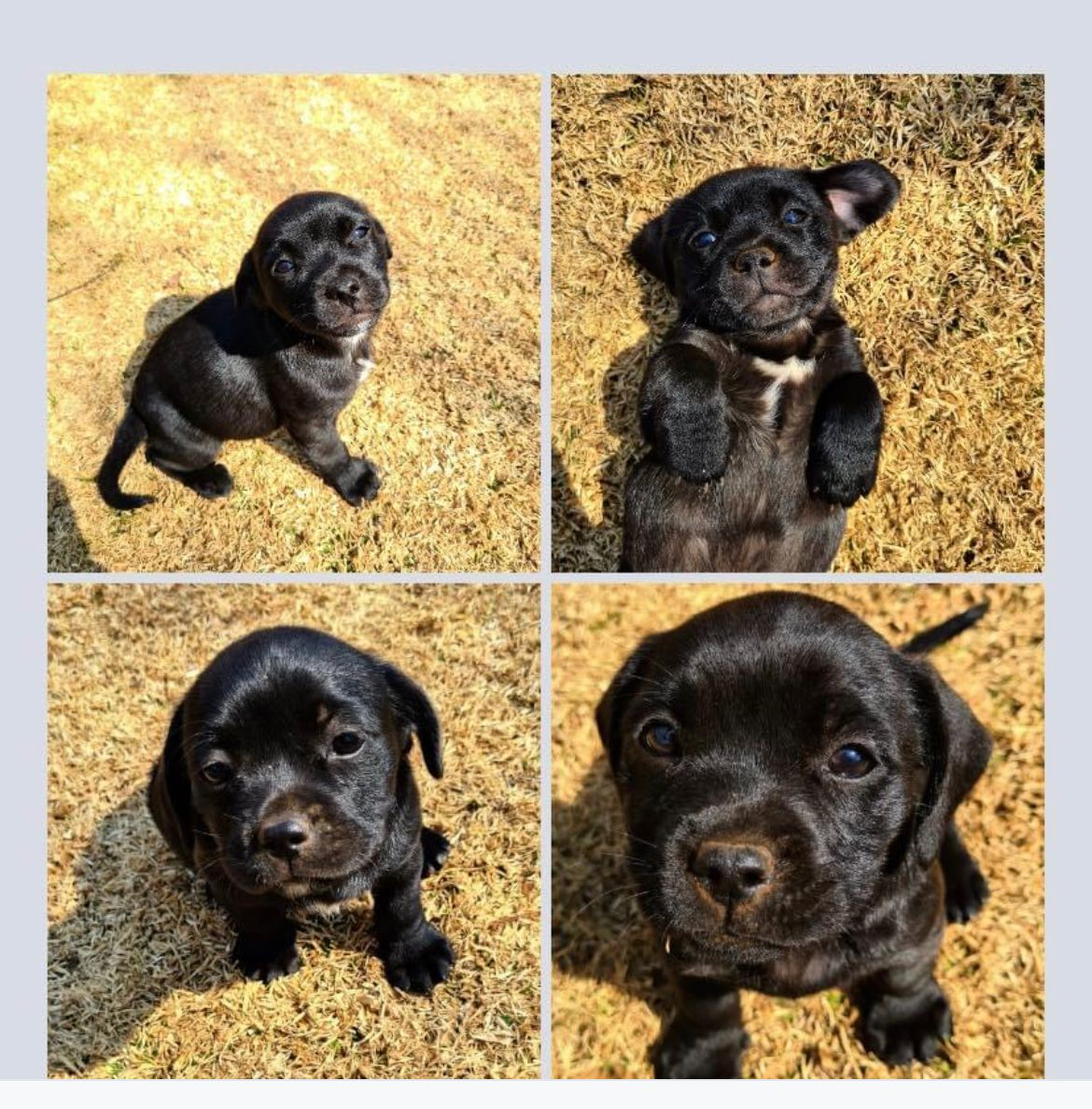 Staffie Puppies in East Rand (21/08/2021)