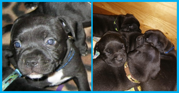 Staffie Puppies in East Rand (02/08/2021)
