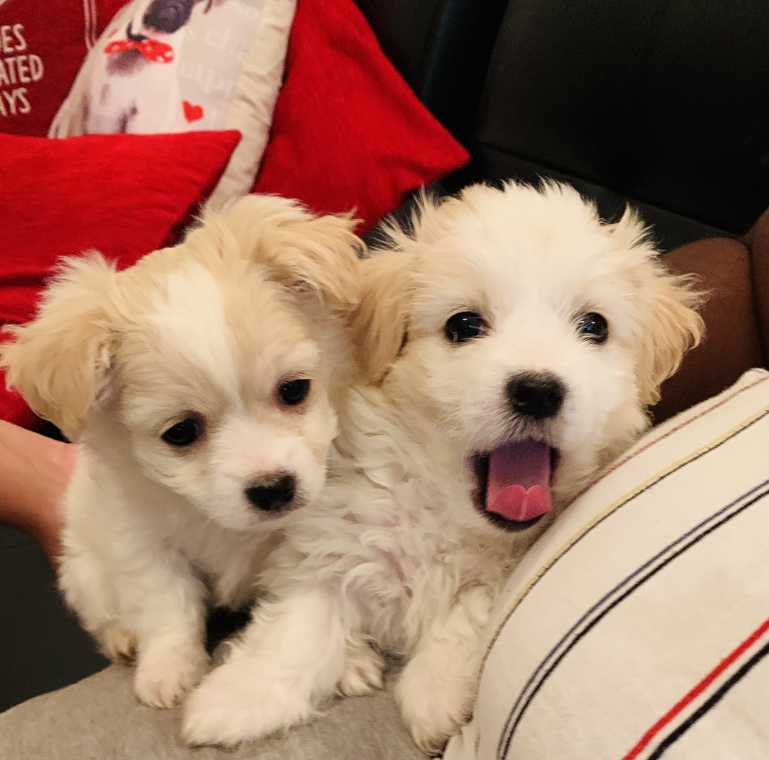 Poodle Puppies in Johannesburg (21/09/2021)
