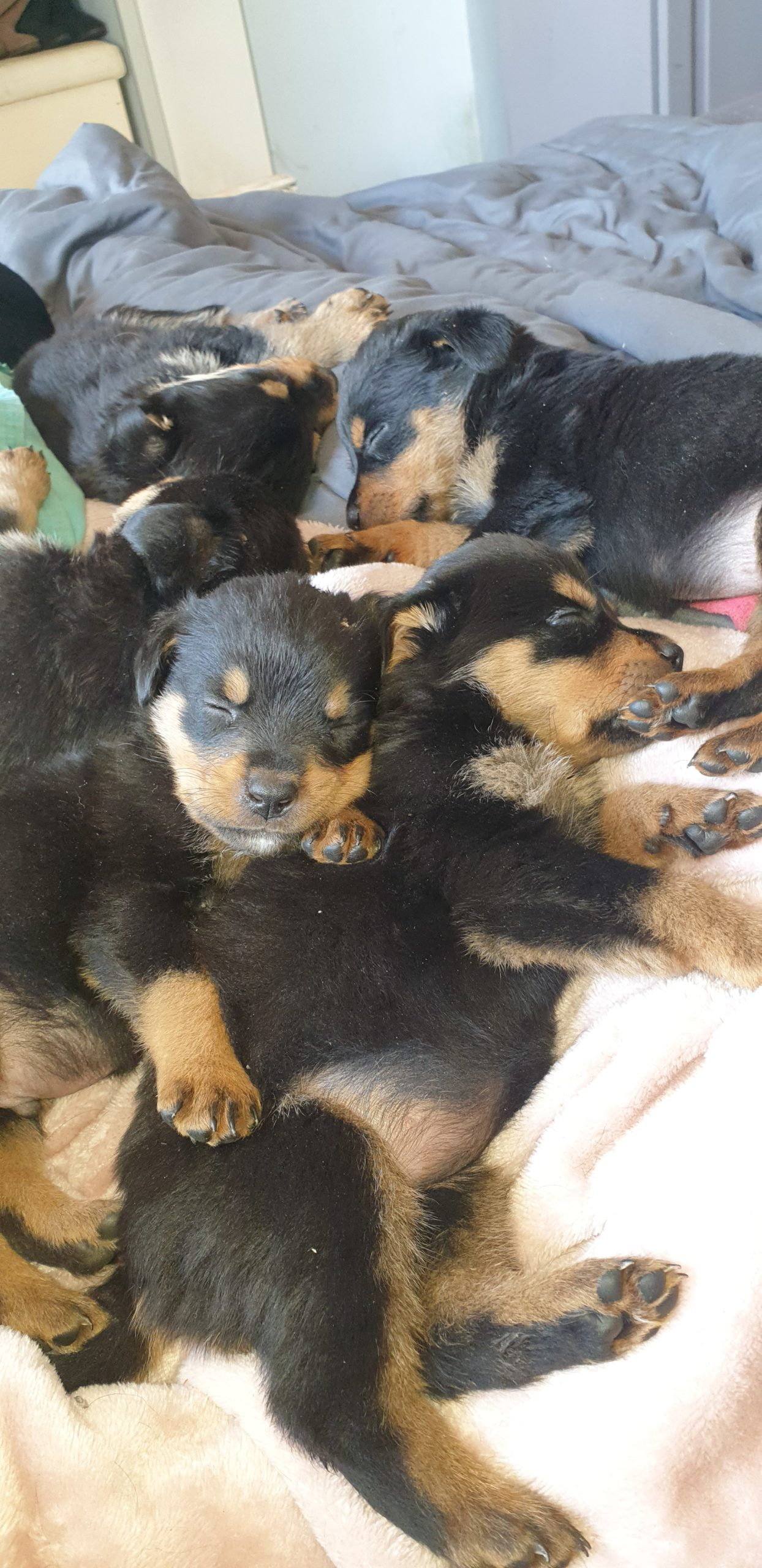 Rottweiler Puppies in East Rand (07/09/2021)