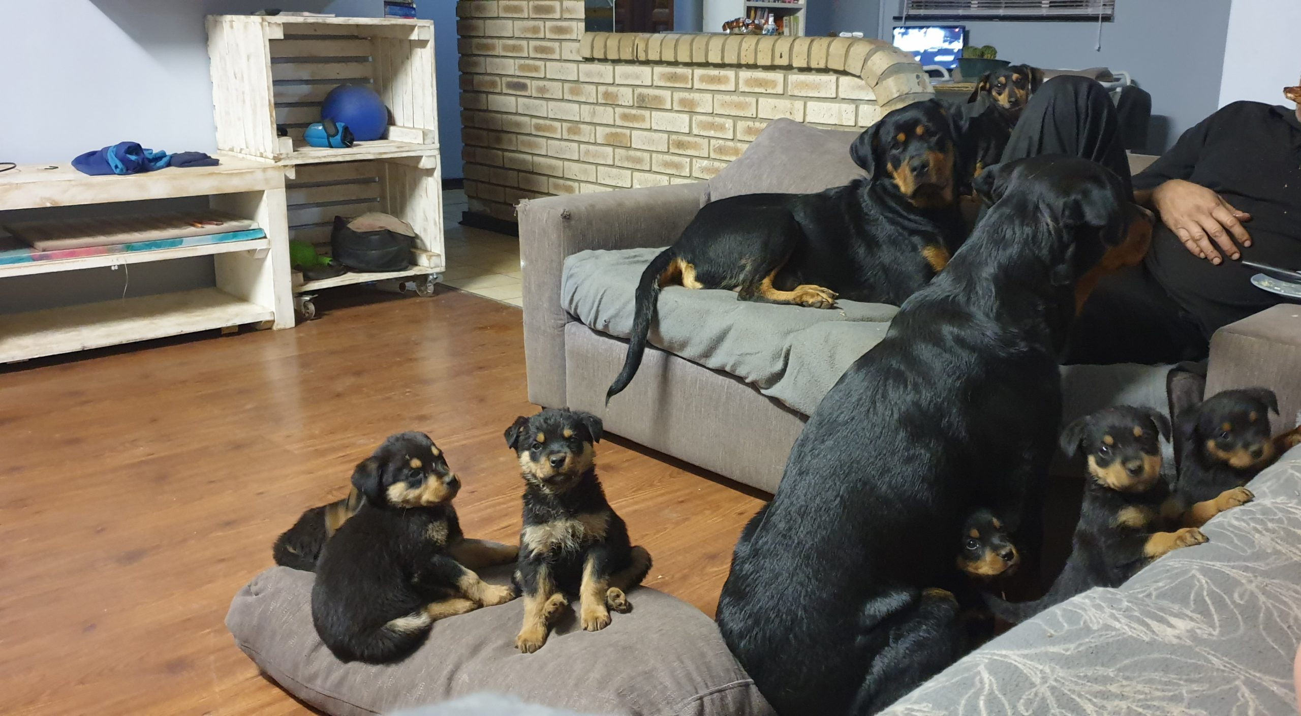 Rottweiler Puppies in East Rand (28/09/2021)
