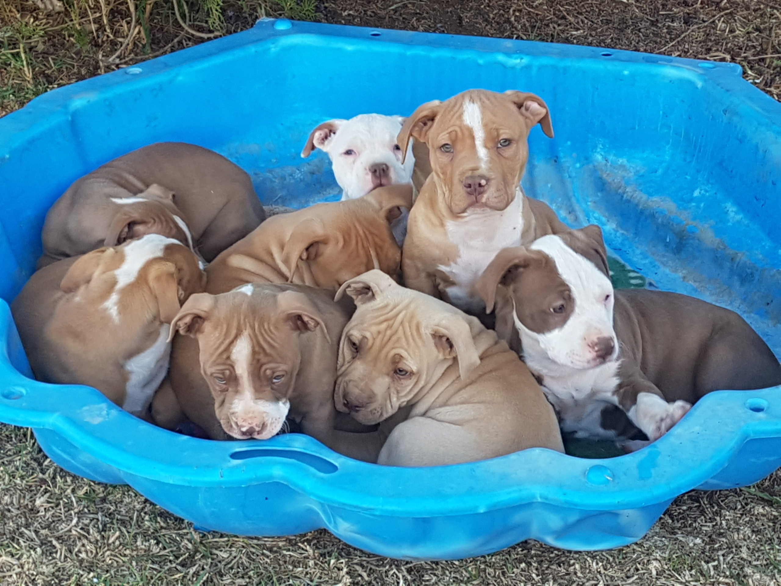 Pitbull Puppies in Cape Town (26/09/2021)
