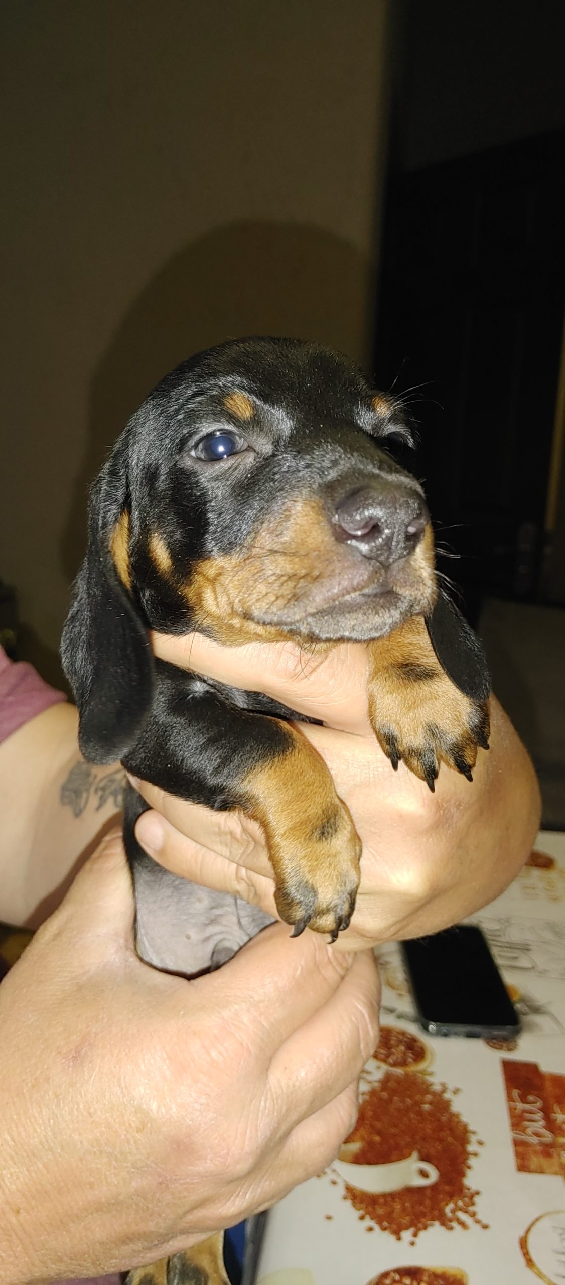 Dachshund Puppies in Other (03/09/2021)