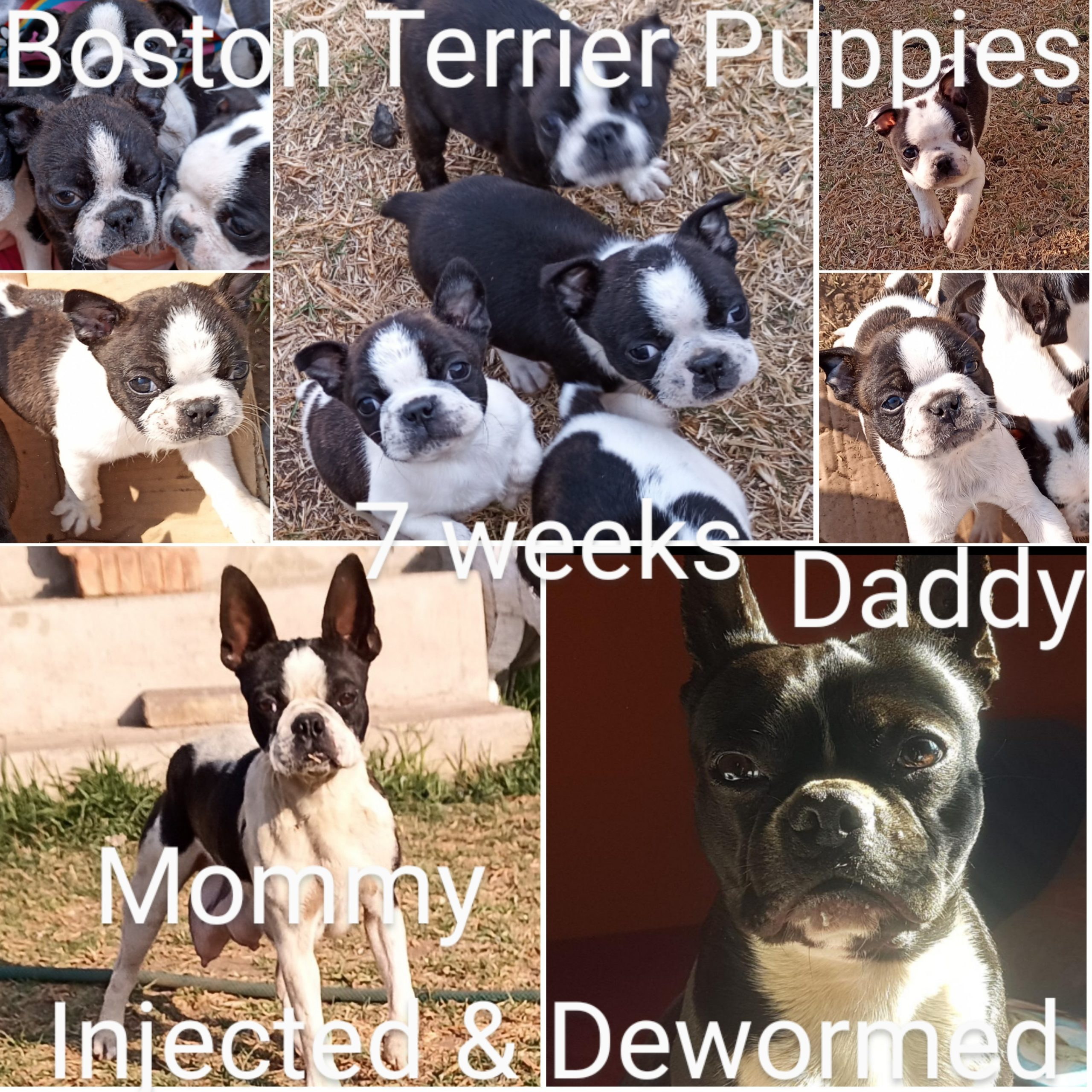 Boston Terrier Puppies in Other (26/09/2021)