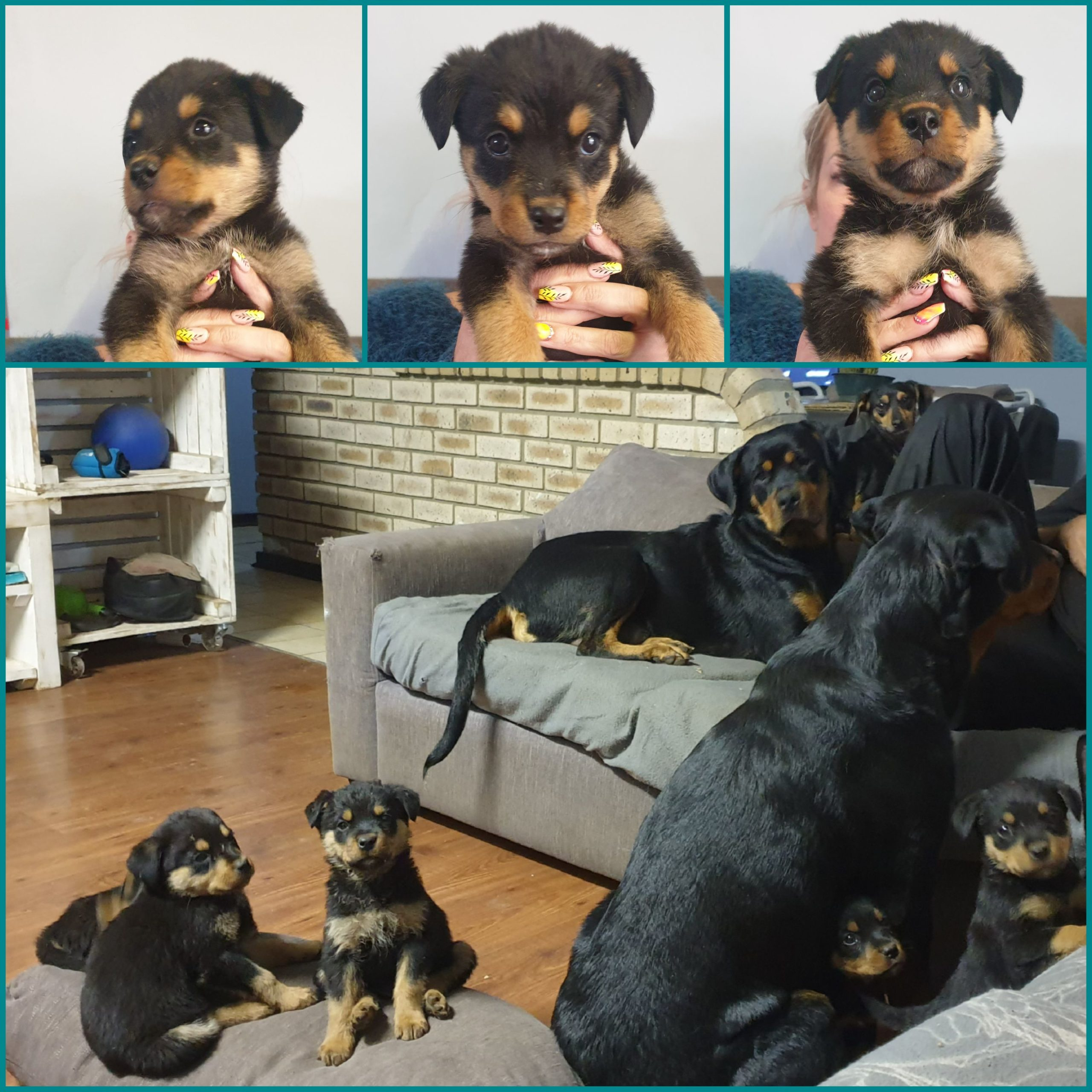 Rottweiler Puppies in East Rand (06/10/2021)