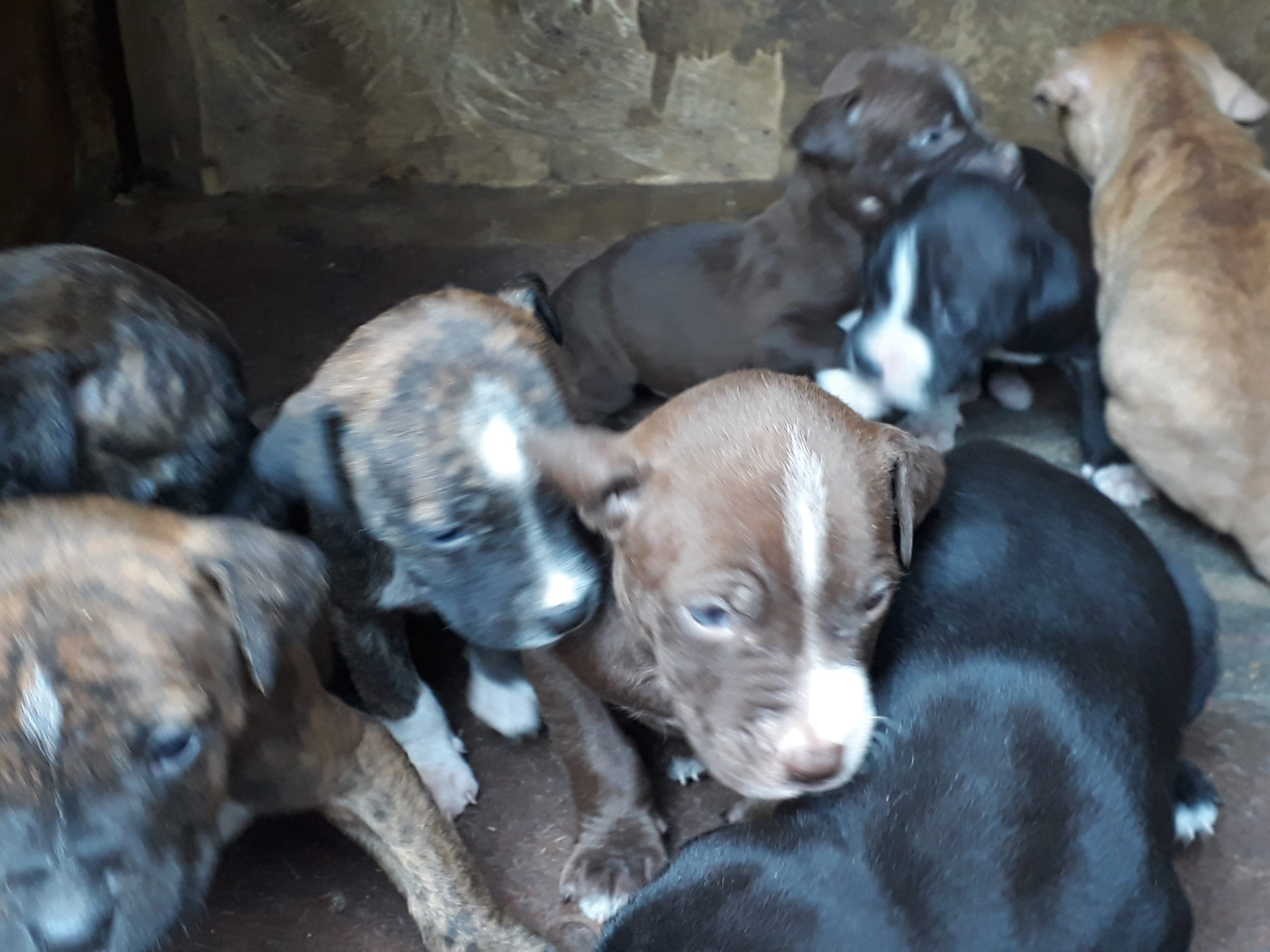 Pitbull Puppies in East Rand (03/10/2021)